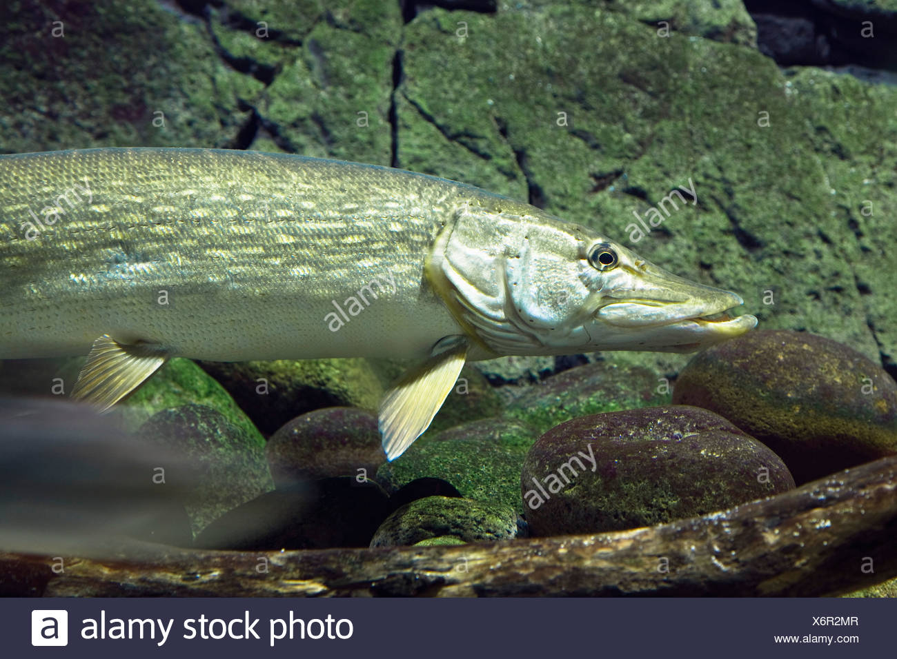 Pike, Esox lucius Stock Photo