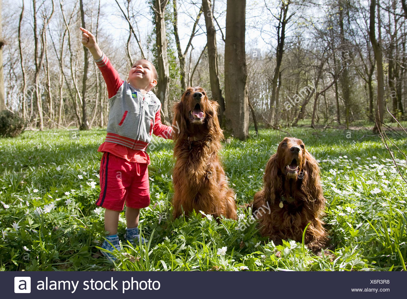 little boy playing with two irish setters in woods - Stock Image