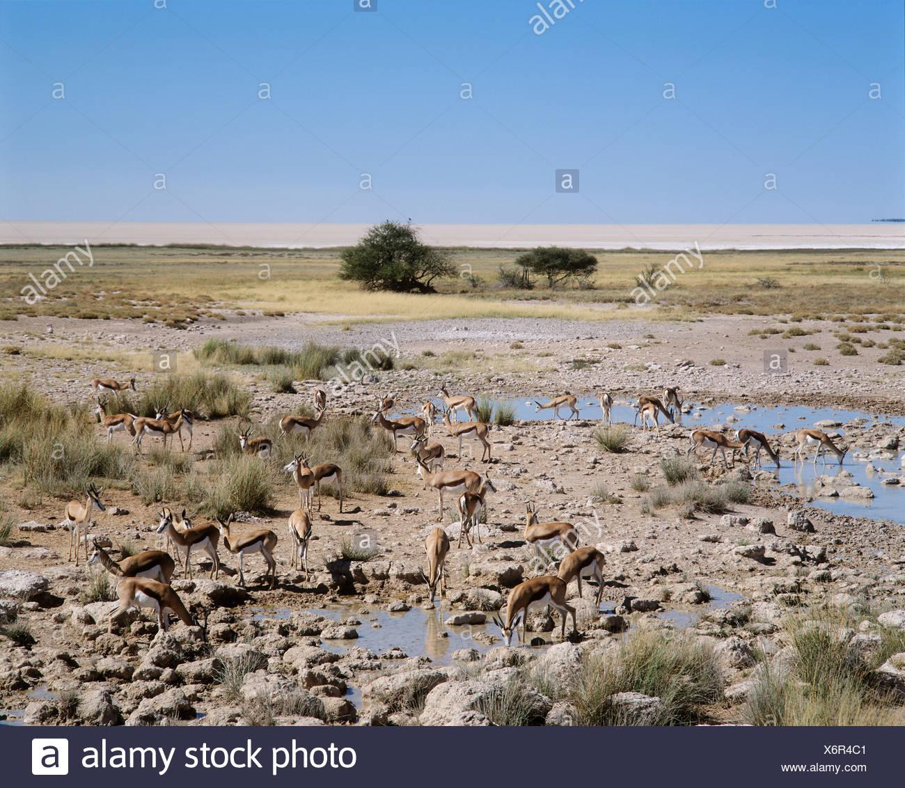 Springbocks - Salvadora-waterhole - Etosha National Park - Namibia Stock Photo