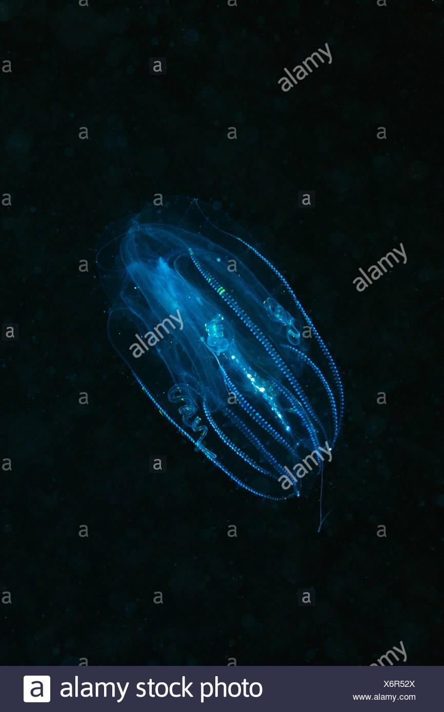 Underwater recording, rib jellyfish, Tentaculata, Egypt, Safaga, animal, sea animal, jellyfish, nettle animal, concave animal, sea animal, nettle threads, toxic, - Stock Image