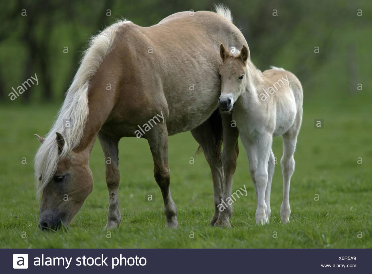 Haflinger Horse - Stock Image