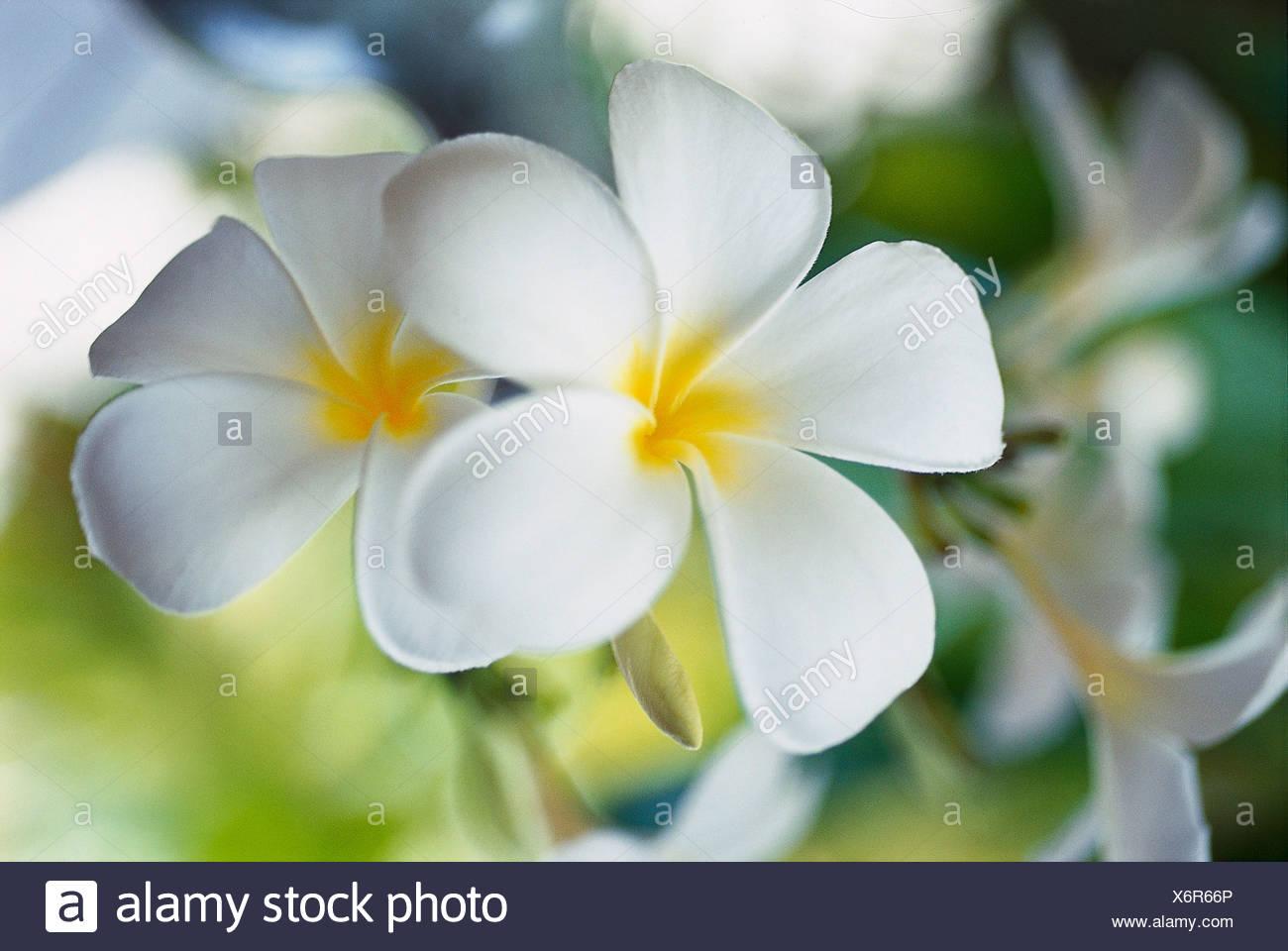 Fiori Ylang Ylang.Ylang Ylang Flower Frangipani Maledive Stock Photo 279563614