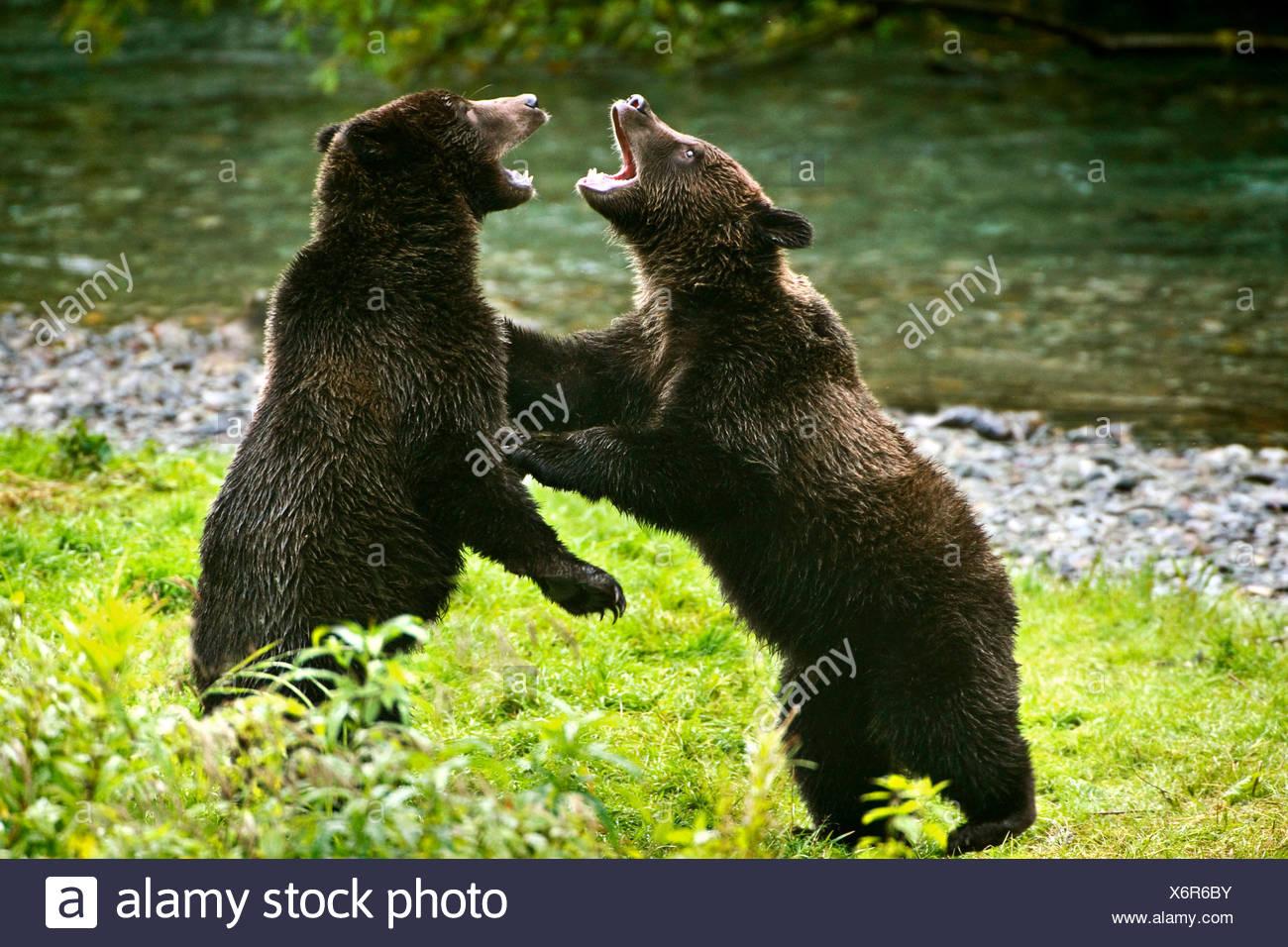 aggressive bear stock photos aggressive bear stock. Black Bedroom Furniture Sets. Home Design Ideas