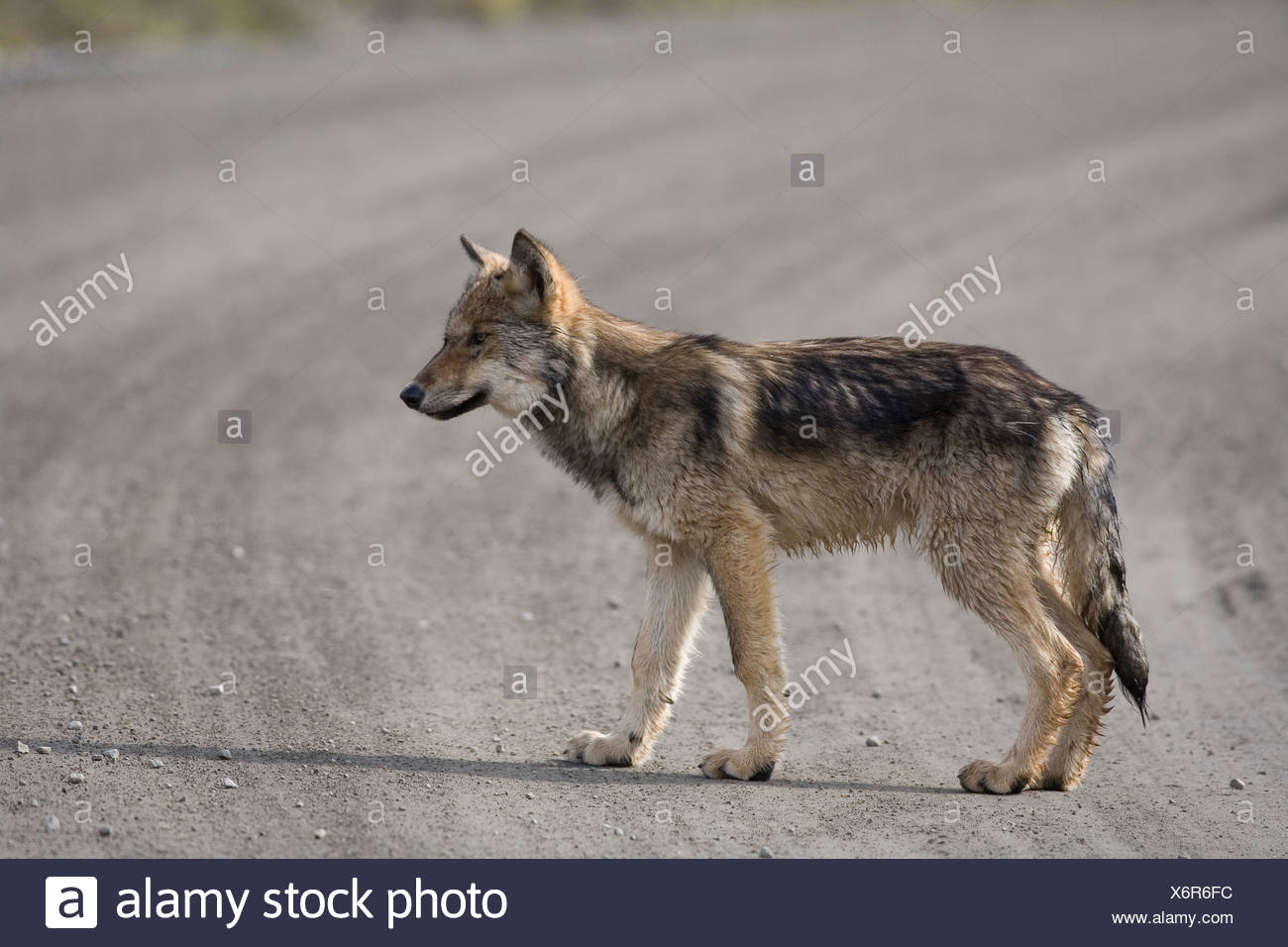 Wolf, Canis lupus, pup of Grant Creek pack, walking on dirt road, Denali National Park, Alaska, horizontal, wild Stock Photo
