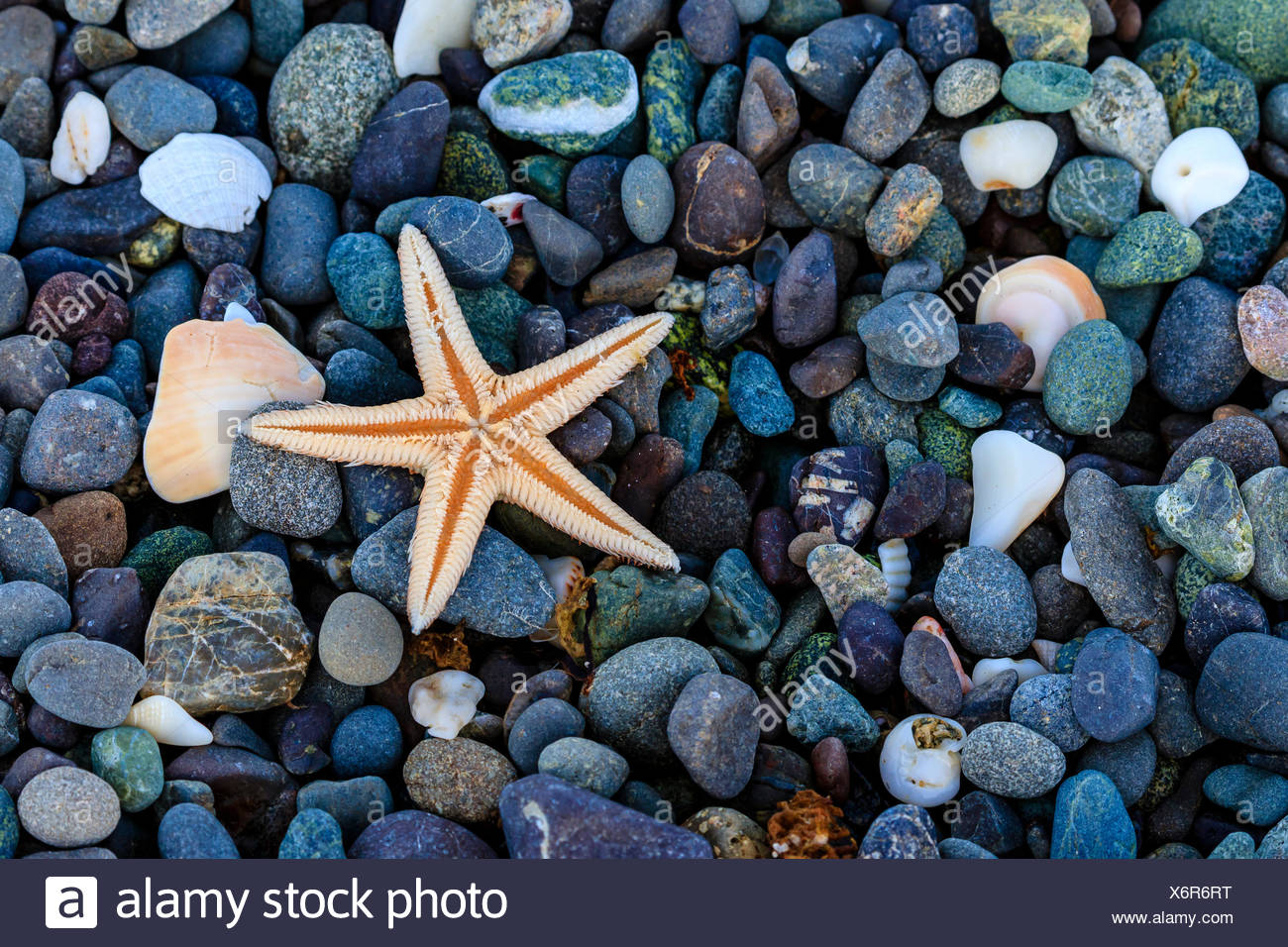 Sea star on colorful beach rocks. Stock Photo