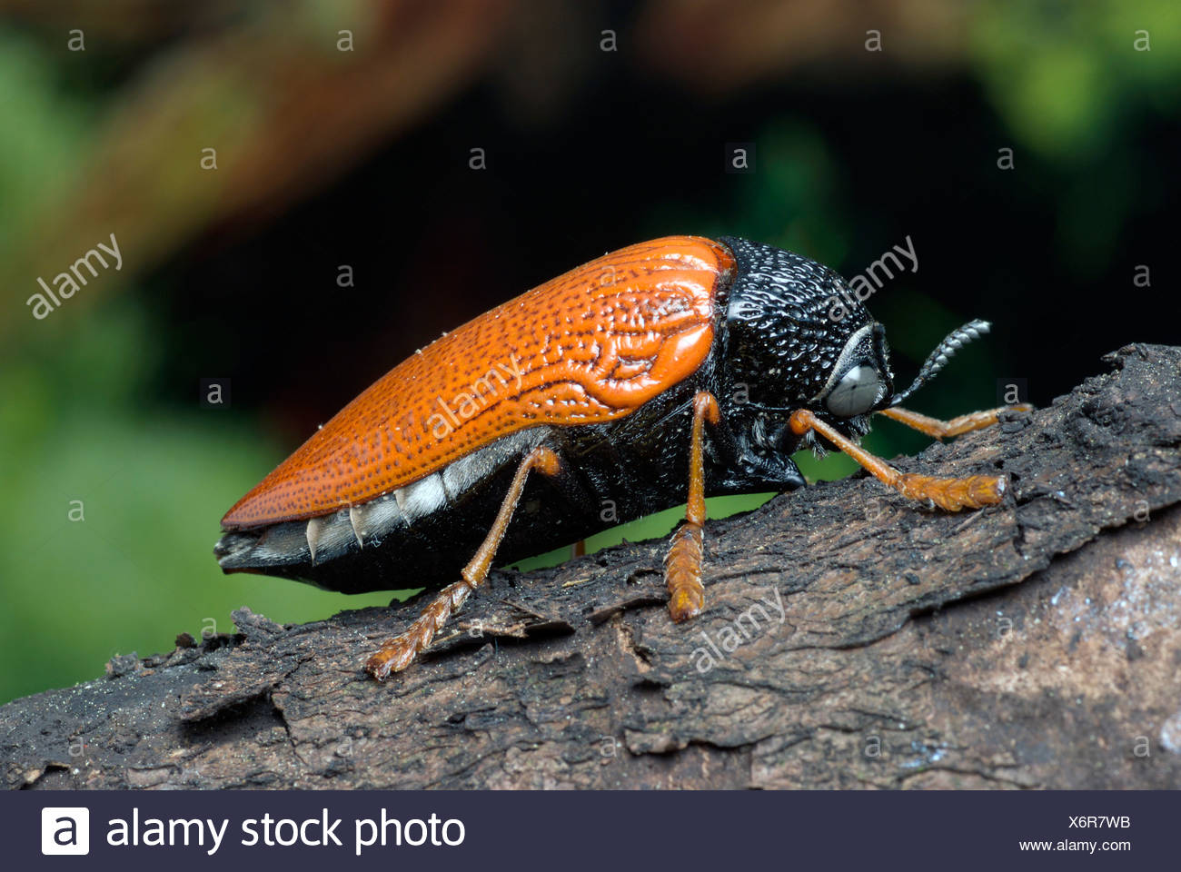 jewel beetle (Sternocera hildebrandti), on bark - Stock Image