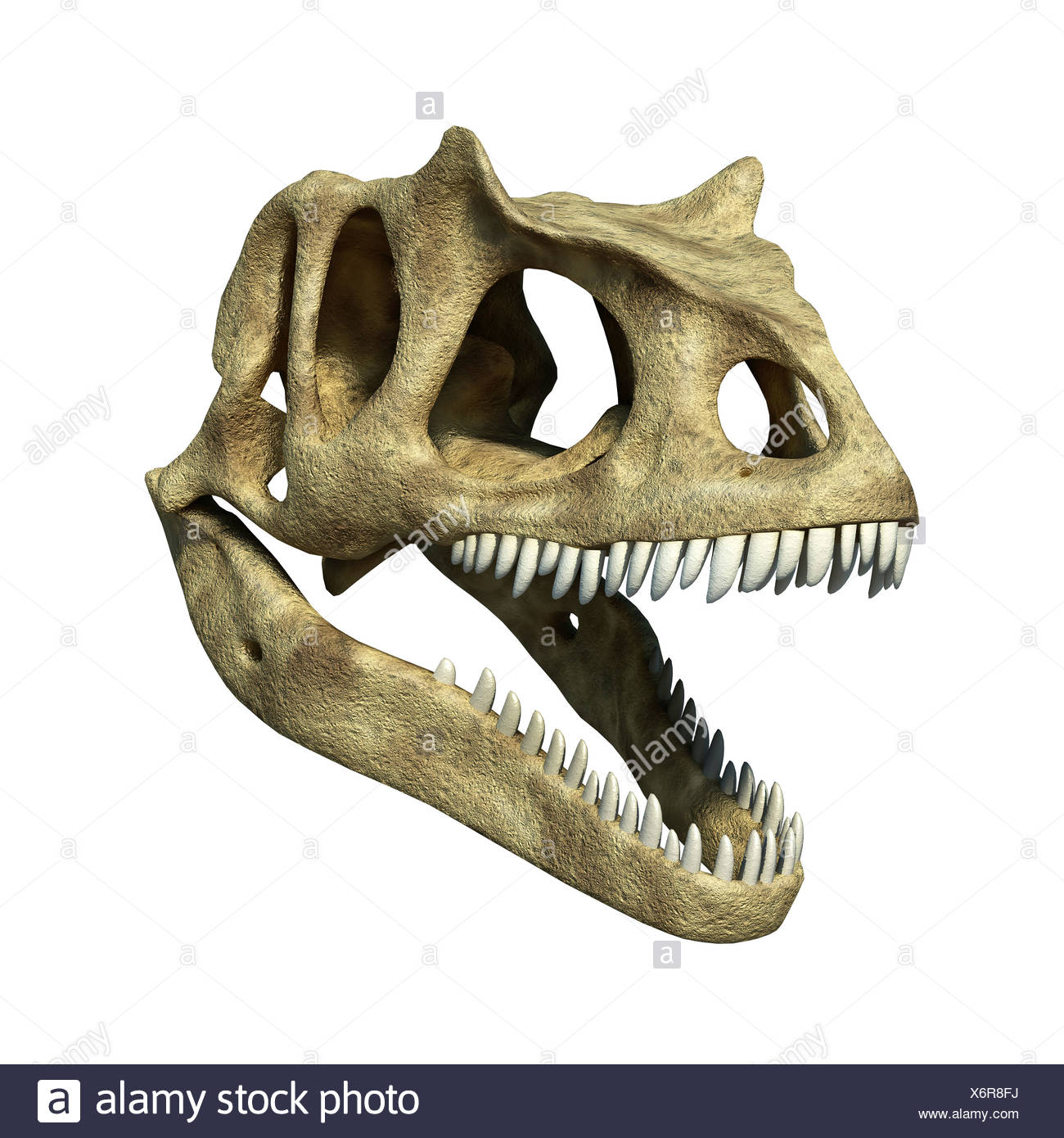 Allosaurus dinosaur skull Allosaurs large carnivorous reptiles late Jurassic period 155 to 145 million years ago bipedal - Stock Image