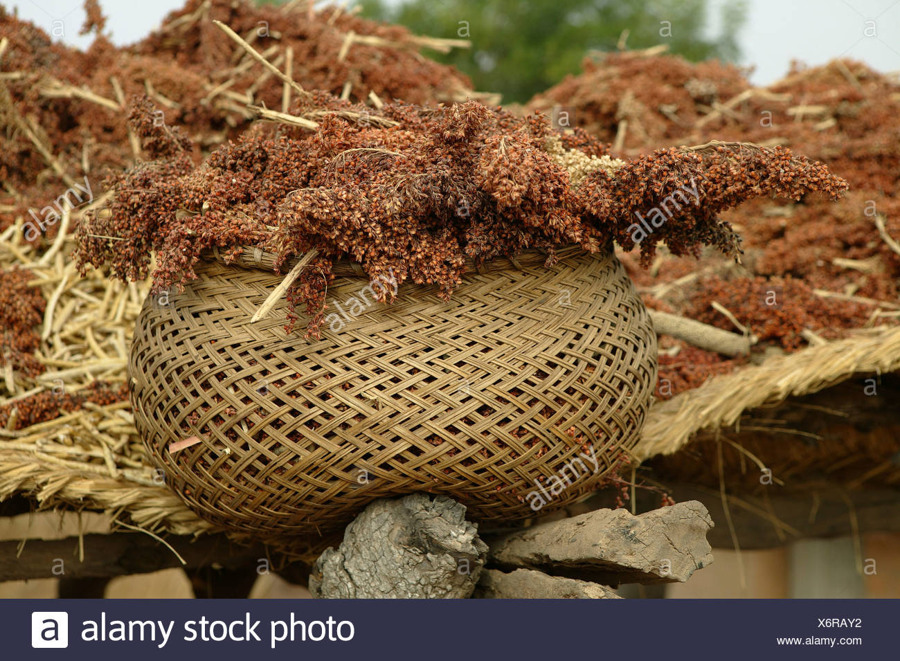 Basket filled with millet, Pakete, Cameroon, Africa Stock Photo
