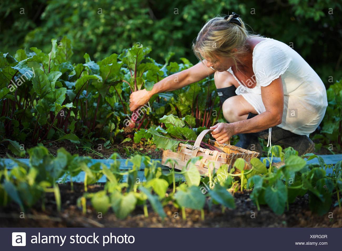 Sweden, Ostergotland, Mature woman harvesting vegetables - Stock Image