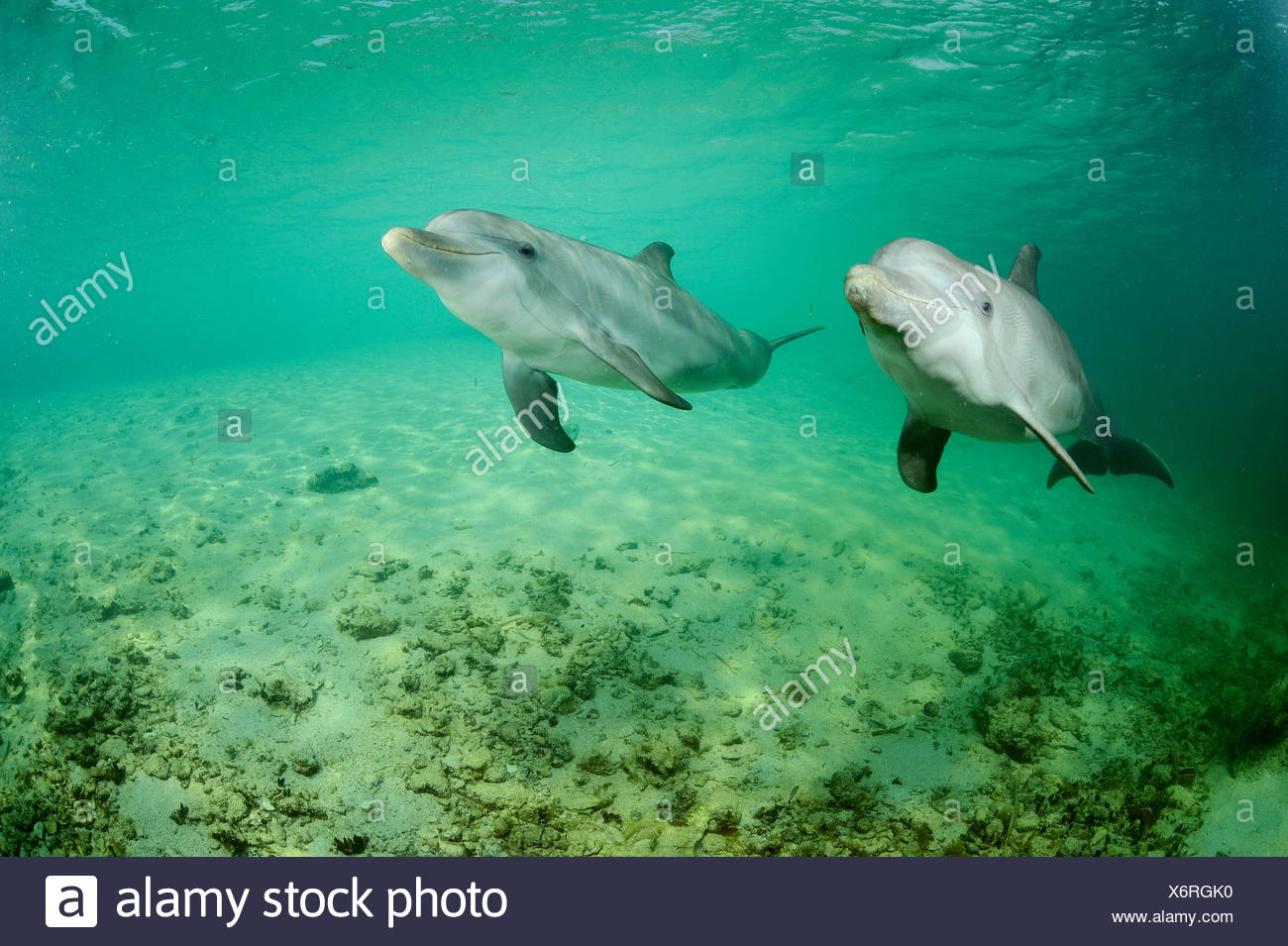 Bottlenose dolphins exhibit tandem behavior at the Roatan Institute for Marine Science at Anthony's Key Resort in Honduras. - Stock Image