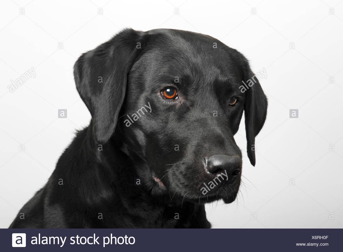 Black Labrador Retriever dog, male, portrait Stock Photo: 279572063 ... for Black Lab Dog Male  555kxo