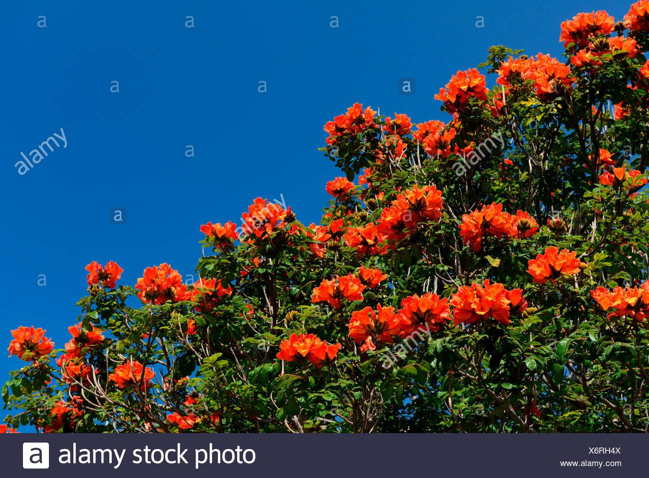 Afrikanischer Tulpenbaum / (Spathodea campanulata), Funchal, Madeira, Portugal - Stock Image