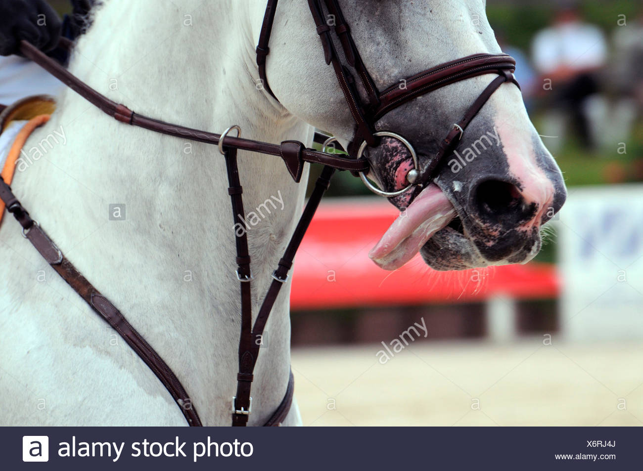 German Warmblood Horse, Show Jumping / horse tack, figure-8-noseband