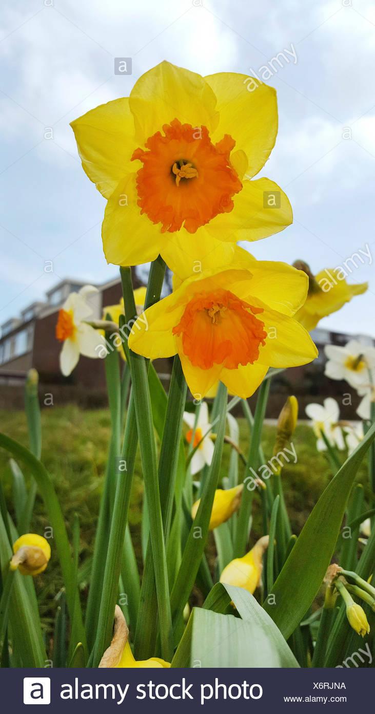 Narzisse, Osterglocke (Narcissus spec.), Grosskronige Narzissen, bluehend im Zierrasen, Deutschland | daffodil (Narcissus spec.) Stock Photo