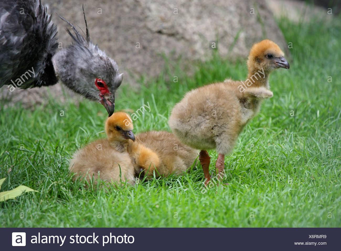 crested screamer (Chauna torquata), chicks with adult - Stock Image