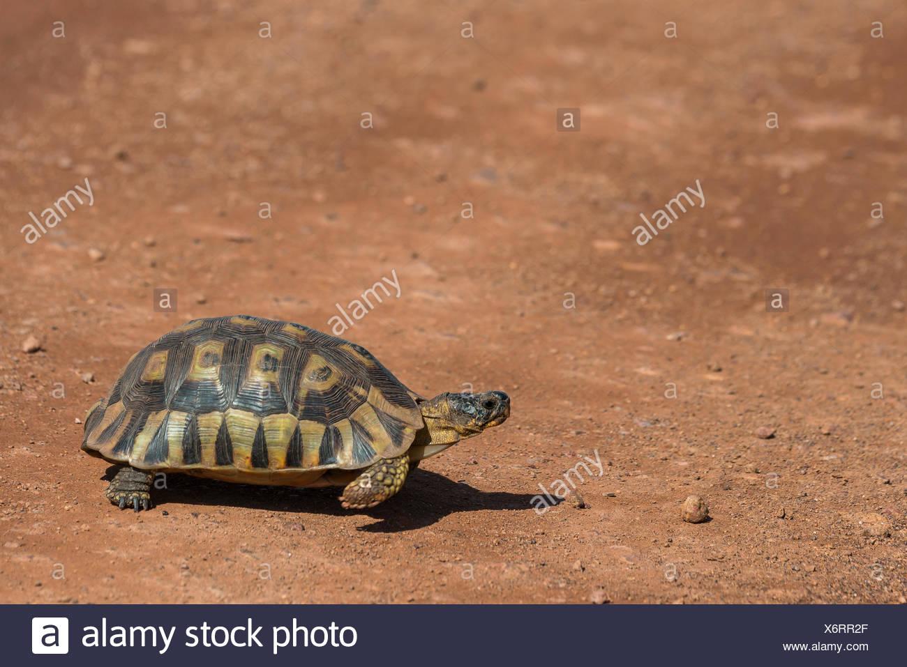 Angulate tortoise (Chersina angulata), endangered species, Province Western Cape, South Africa - Stock Image