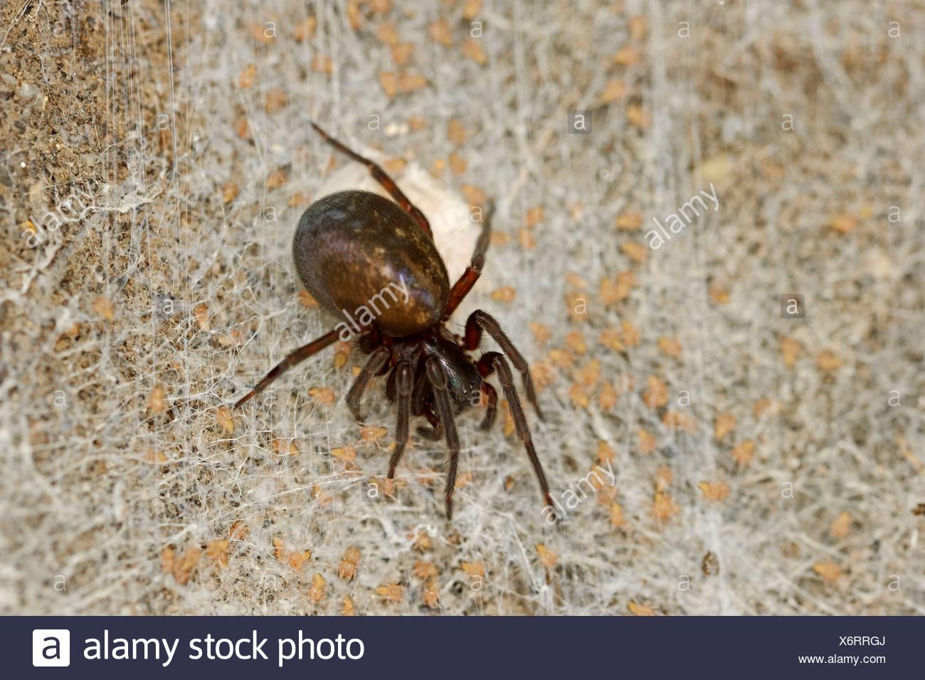 Black Lace Weaver Spider - Stock Image