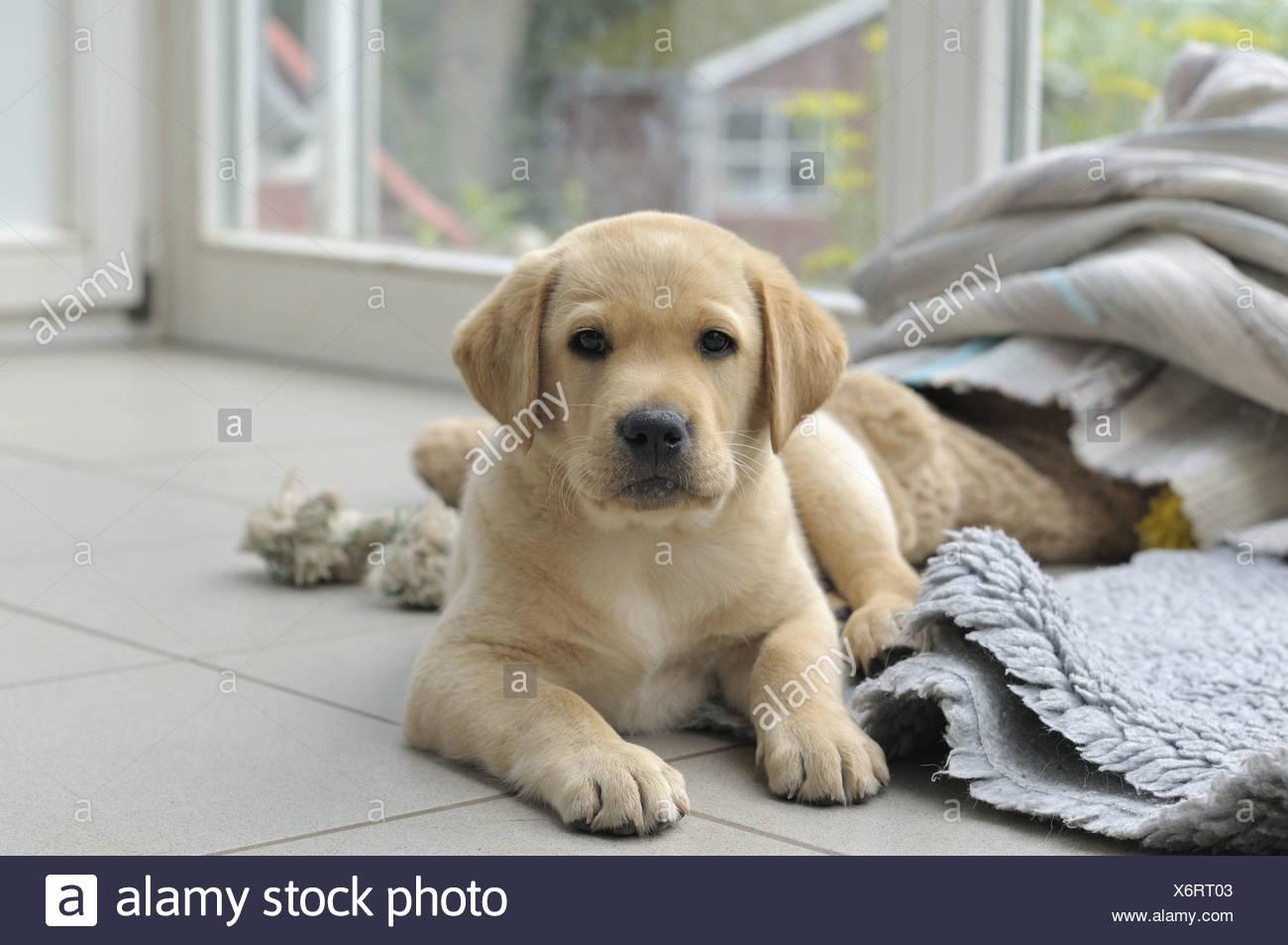 Blonde Labrador Retriever Lying On The Floor Puppy Stock Photo Alamy