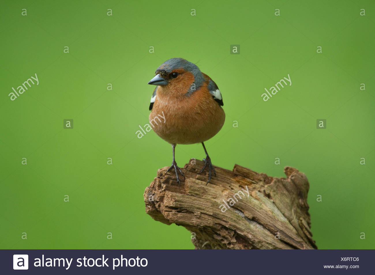 chaffinch (Fringilla coelebs), male on a branch, Germany - Stock Image