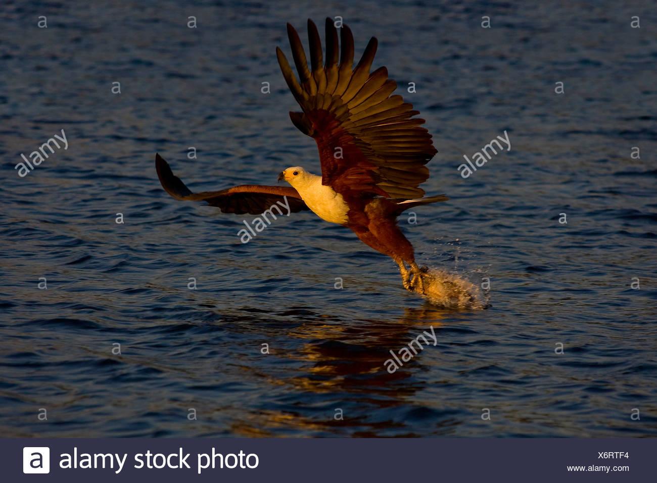 African Fish Eagle catching fish, Chobe, Botswana - Stock Image