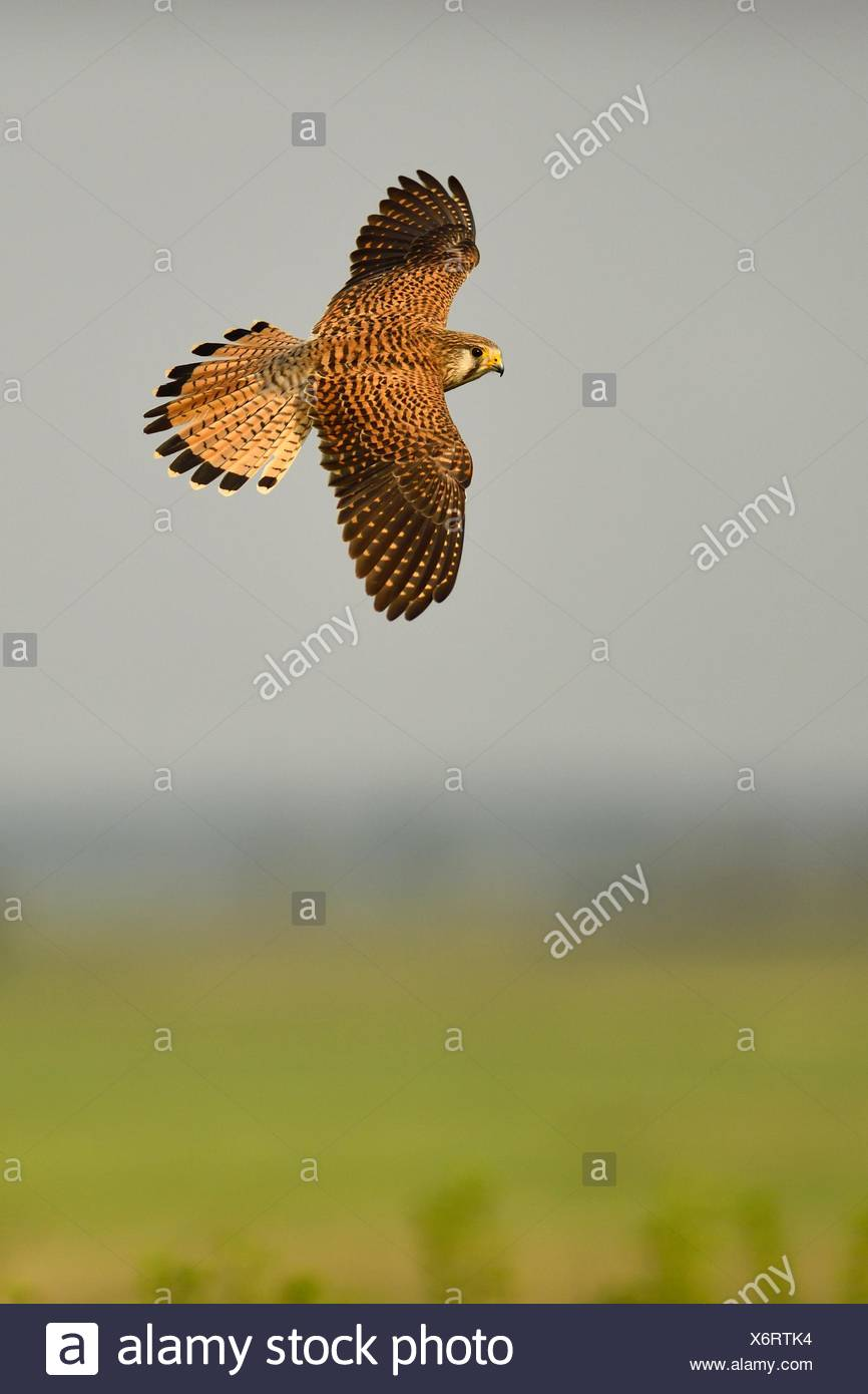 Common kestrel (Falco tinnunculus), female in flight, Kiskunság National Park, Hungary - Stock Image