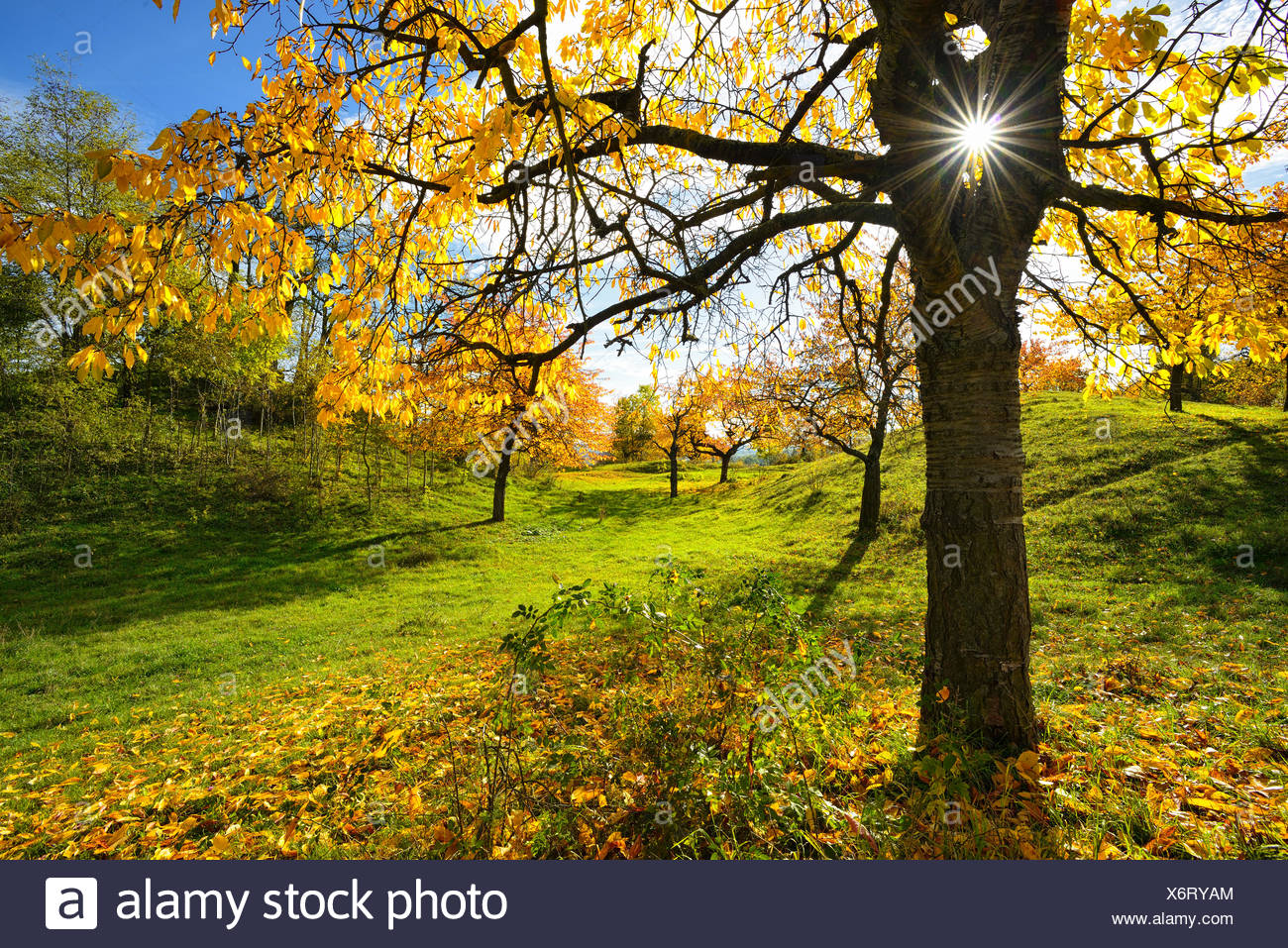 Meadow orchard in autumn, sun radiating in a star shape through cherry, yellow foliage, near Weimar, Thuringia, Germany - Stock Image