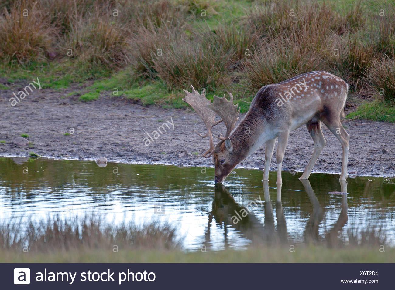 fallow deer (Dama dama, Cervus dama), stag drinking, Denmark, Sjaelland - Stock Image