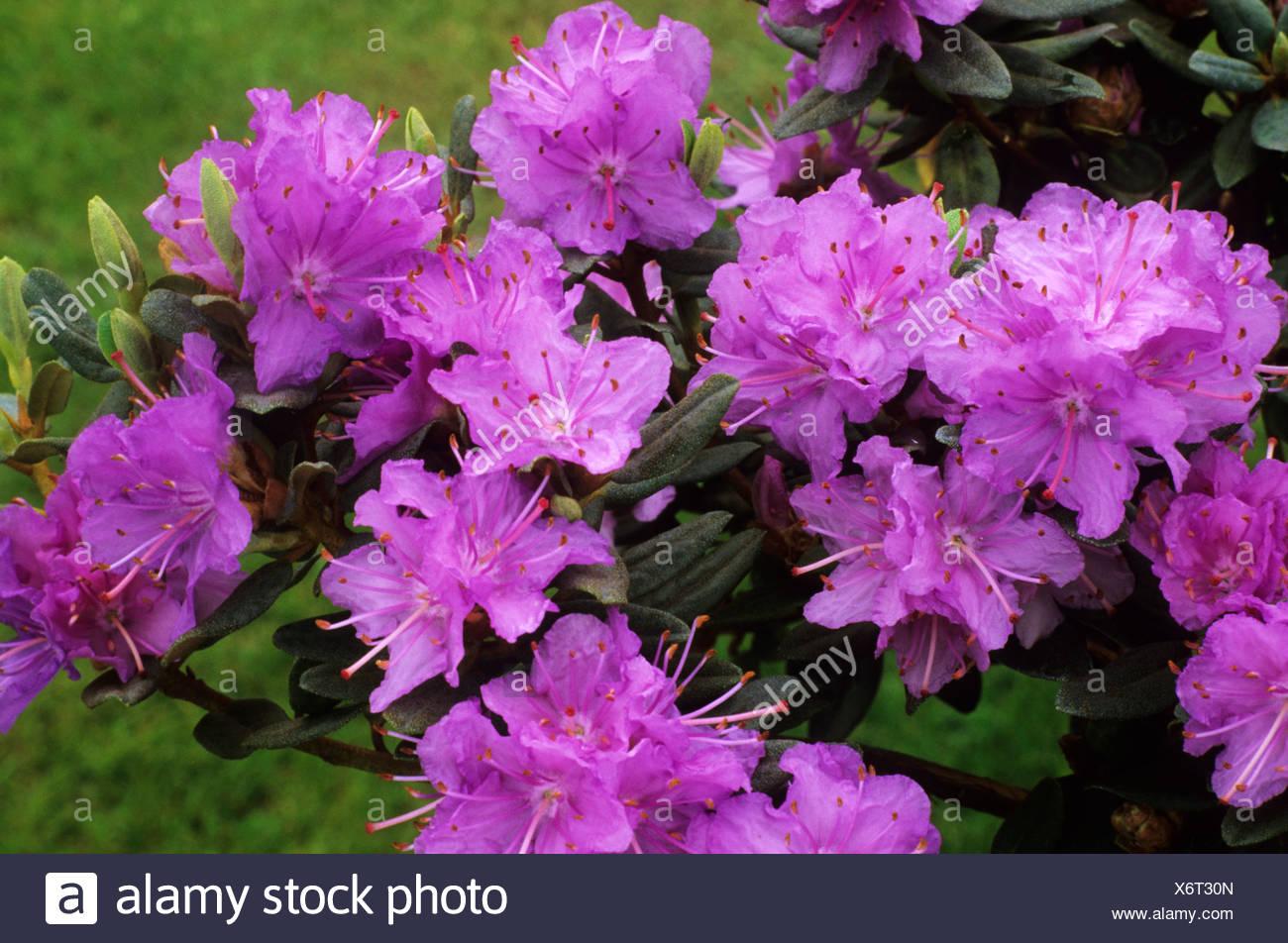 Rhododendron U0027Ramapou0027 Purple Flower Flowers Rhododendrons Azalea Azaleas Garden  Plant Plants