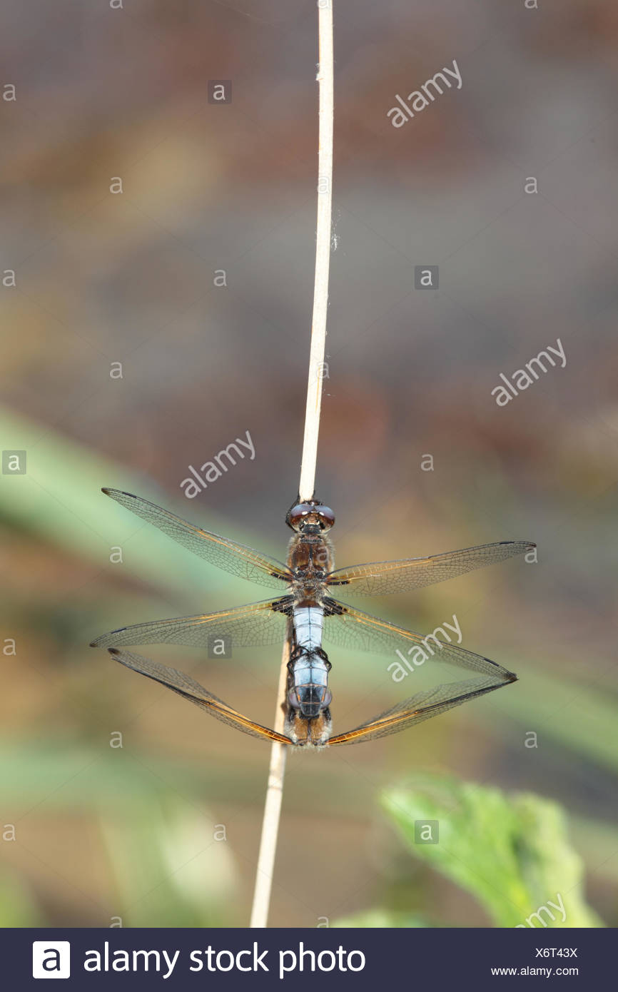 Mating scarce chaser, Libellula fulva, dragonflies on a stem Stock Photo
