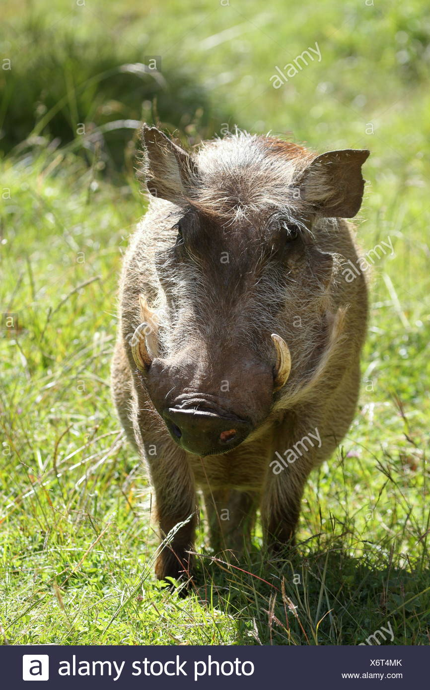 wild warthogs in africa - Stock Image