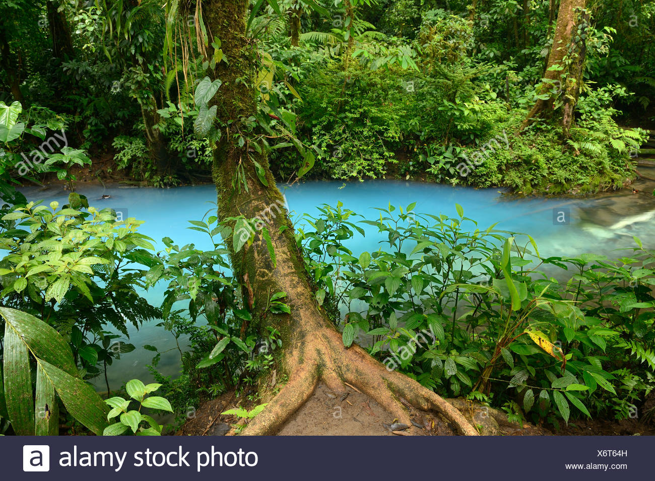 Tree covered in bromeliads protruding into the Rio Celeste, Tenorio Volcano National Park, Costa Rica, Central America - Stock Image
