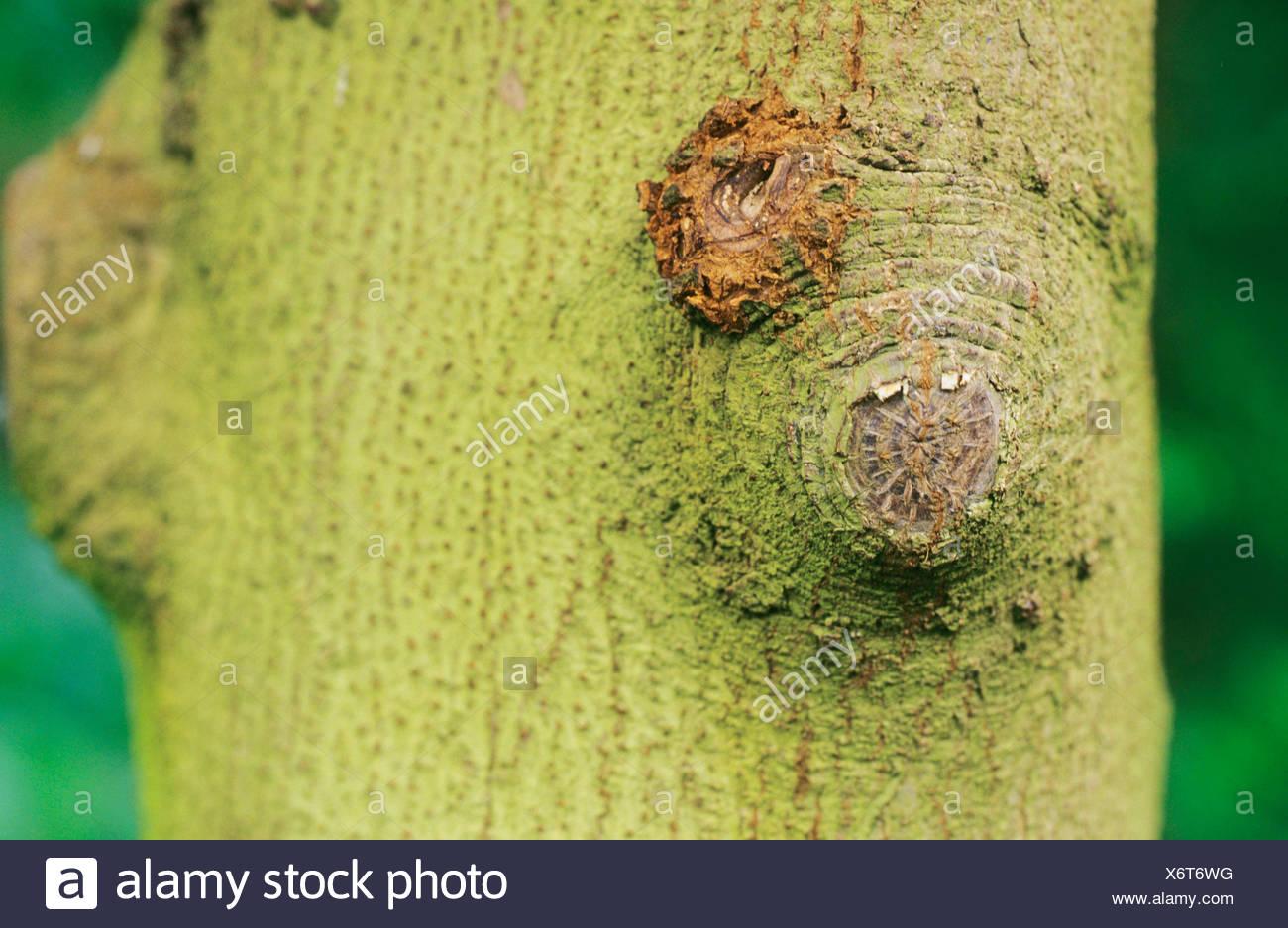 karaka nut, New Zealand Laurel (Corynocarpus laevigatus), bark - Stock Image