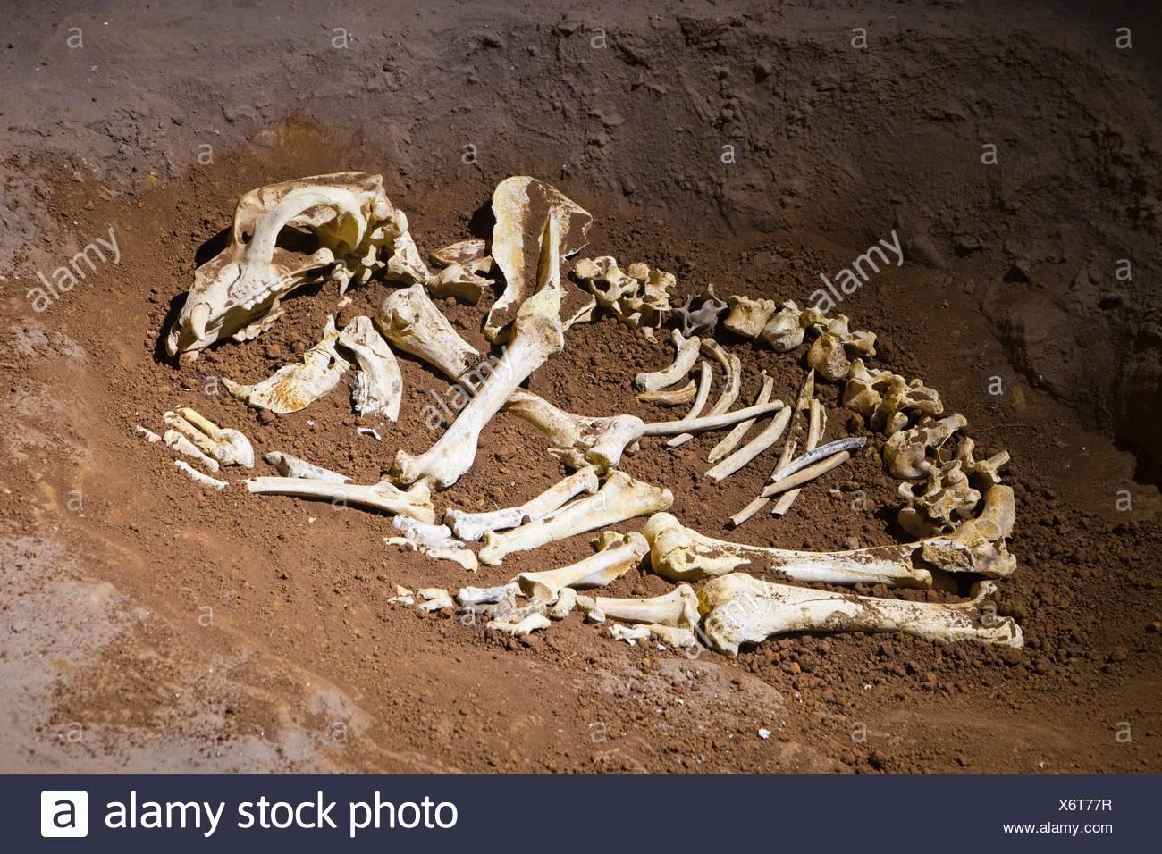 Ekain, Ekainberri Cave  Bones of bear  Zestoa  Cestona  Gipuzkoa  Guipuzcoa  Basque Country  Spain. - Stock Image