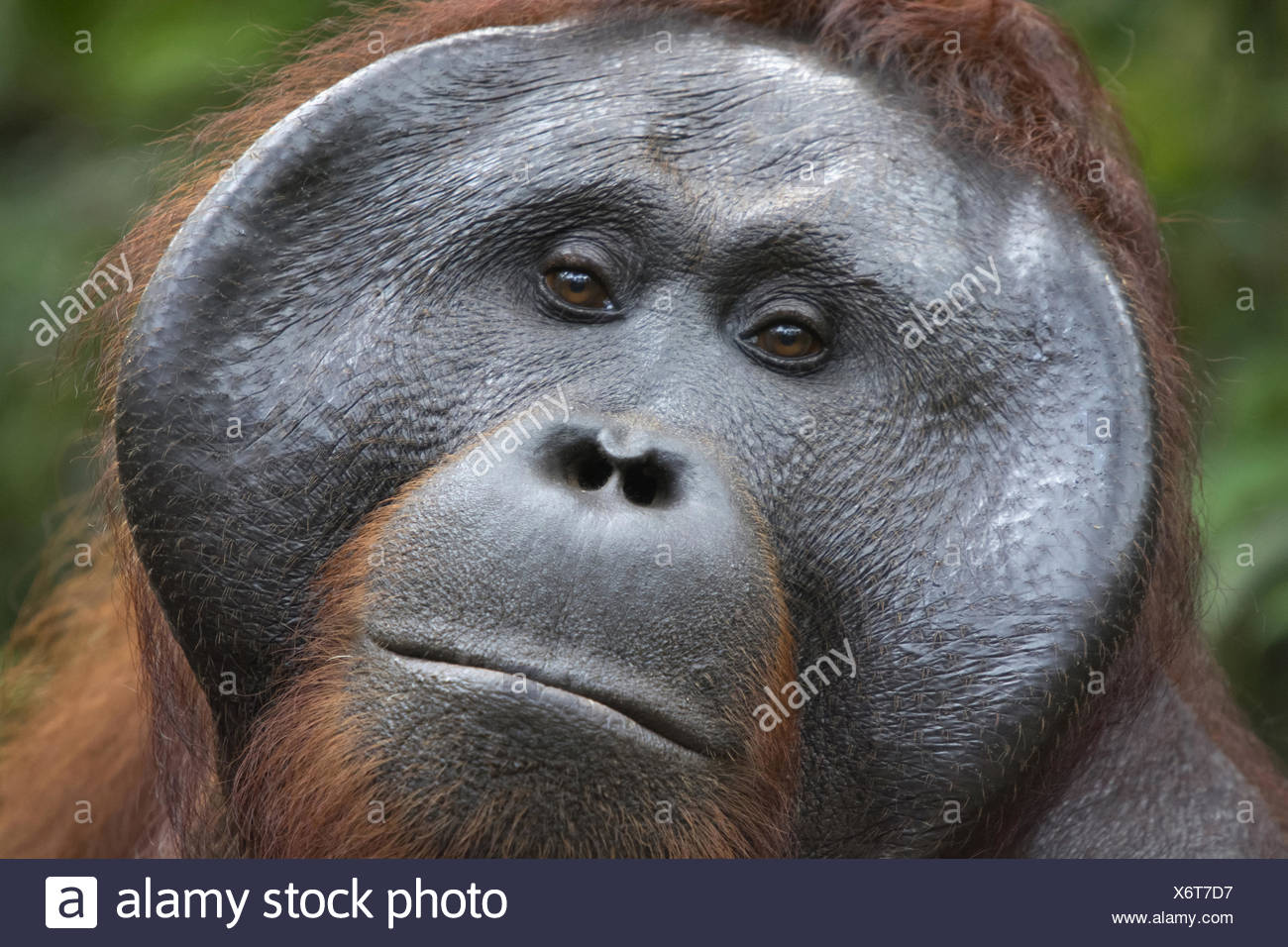 Orangutan, Indonesia. Native to Indonesia and Malaysia, orangutans are currently found in only the rainforests of Borneo and Sumatra - Stock Image