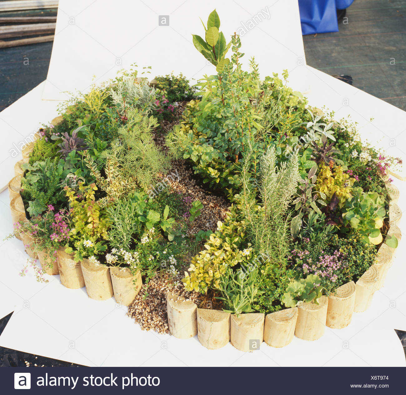 Oval herb garden with s shaped path edged with golden box - Stock Image