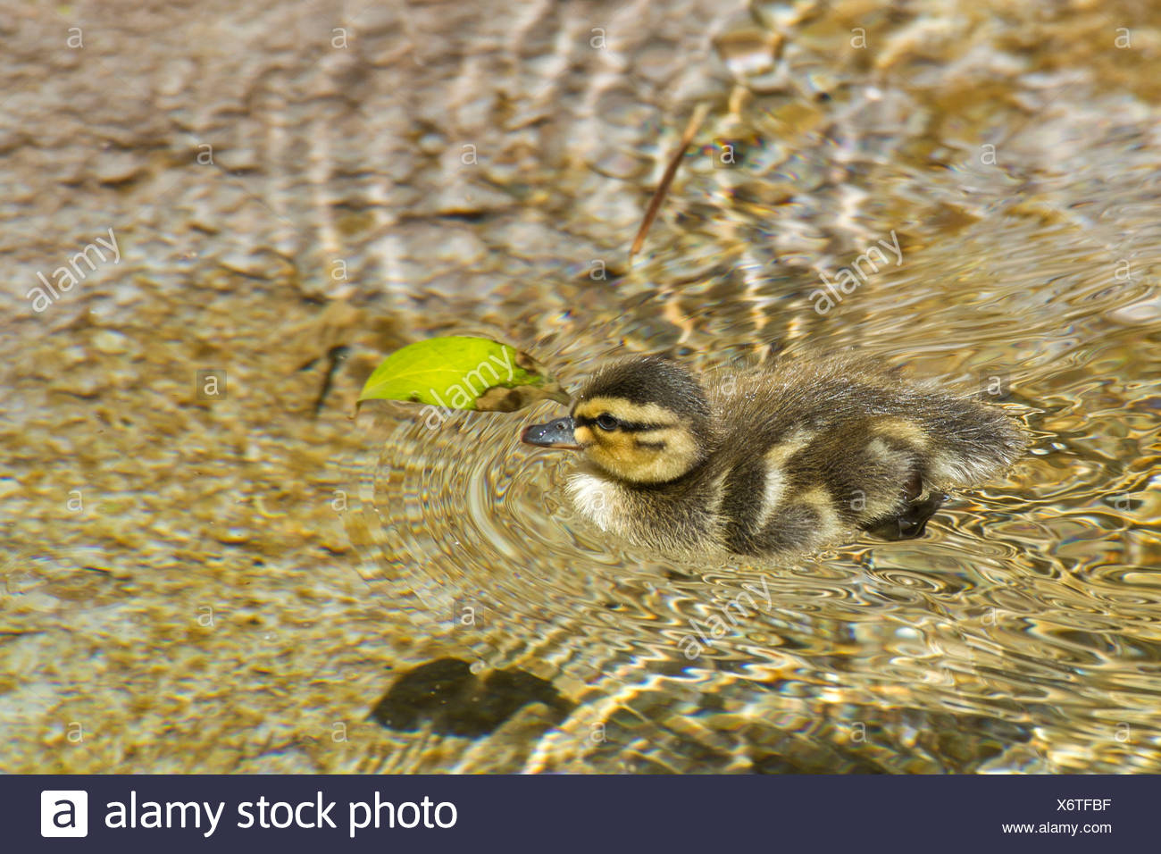 mallard ducklings, duck, animals, birds, USA, United States, America, water - Stock Image