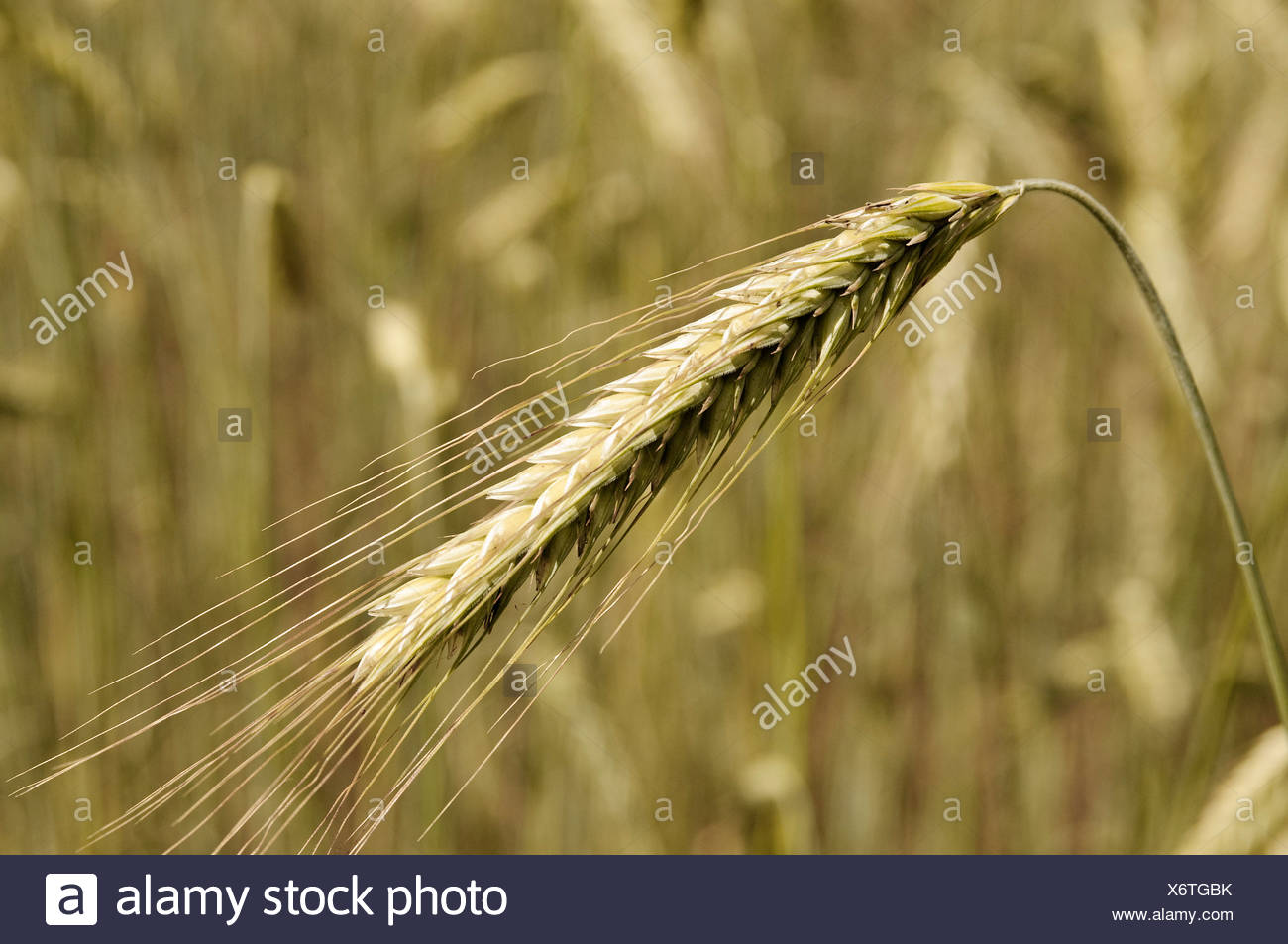 Rye Ear (Secale cereale), autumn-sown rye Stock Photo