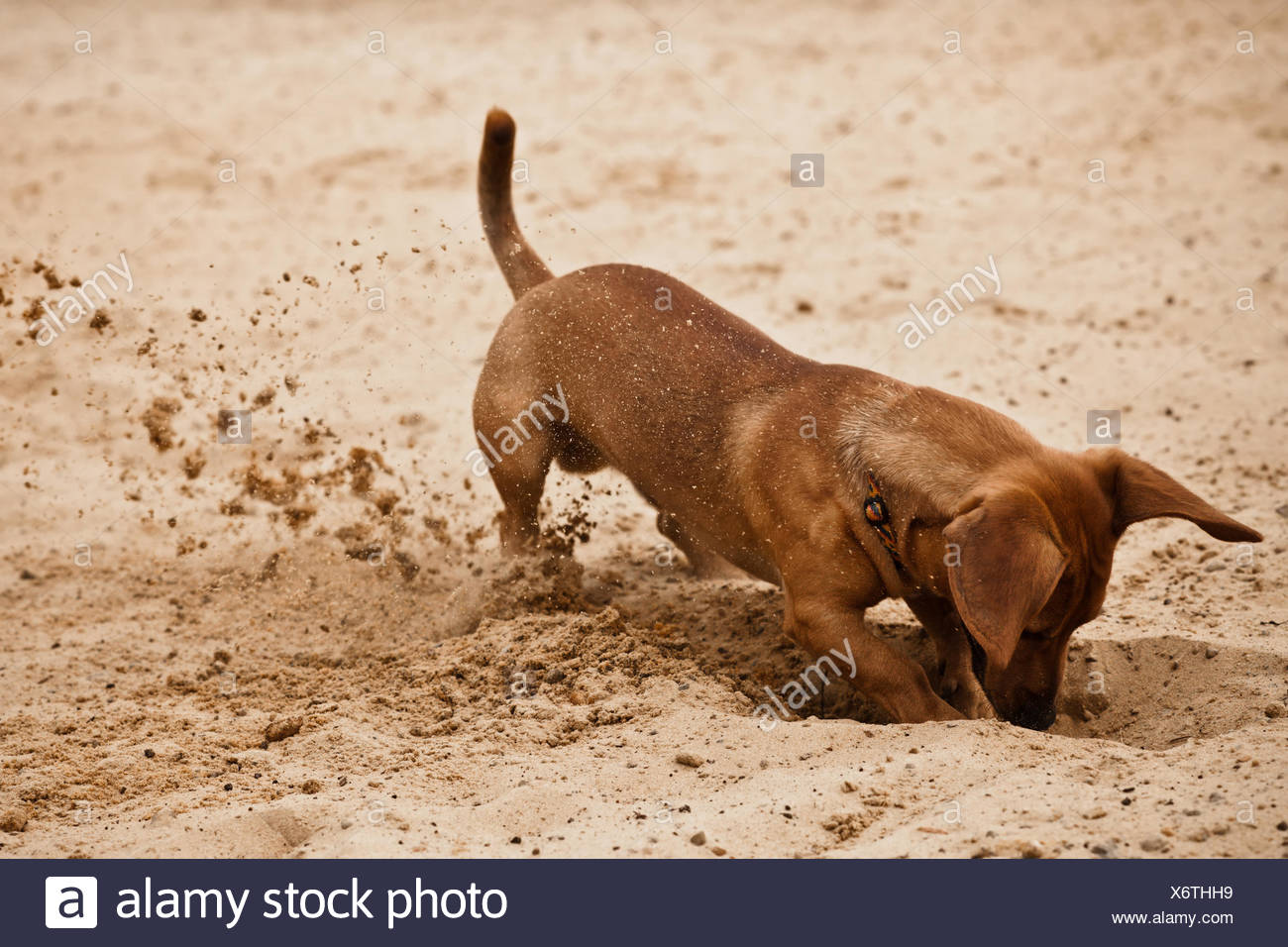 Funny Dachshund Puppy Is Digging Hole On Beach Sand Stock Photo Alamy