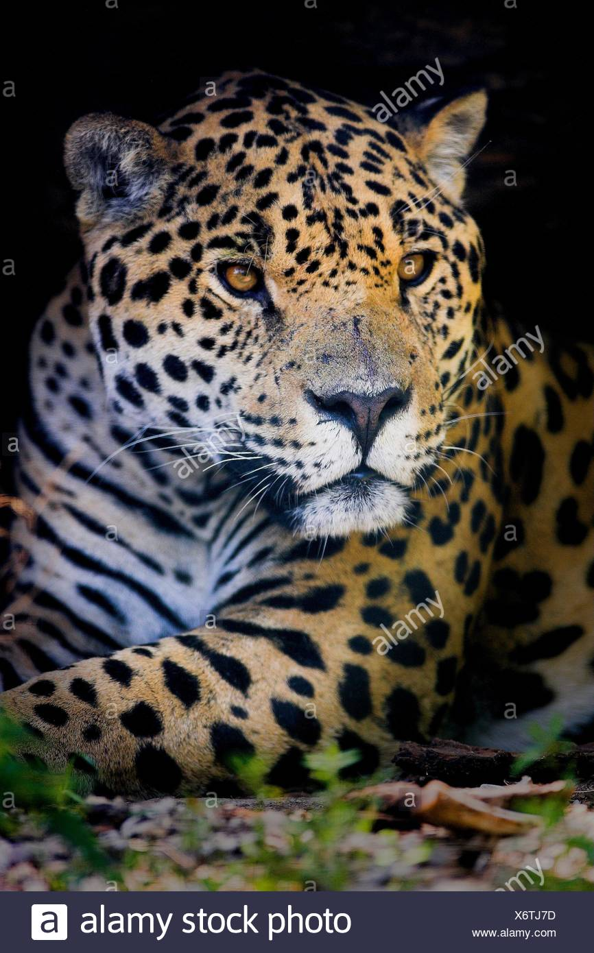jaguar - Stock Image