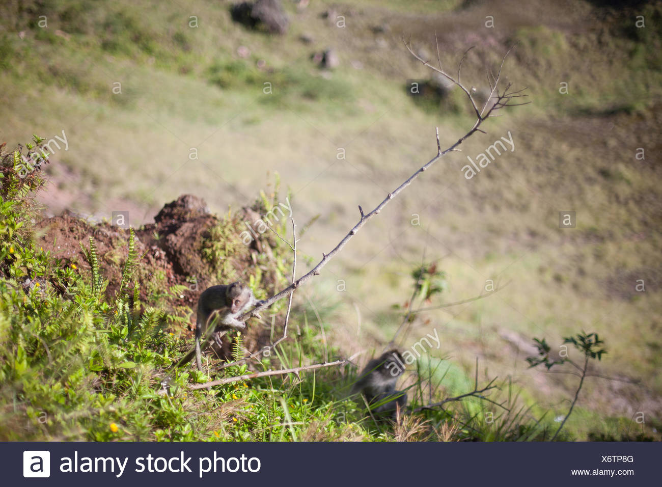 Two Young Monkeys On Landscape - Stock Image