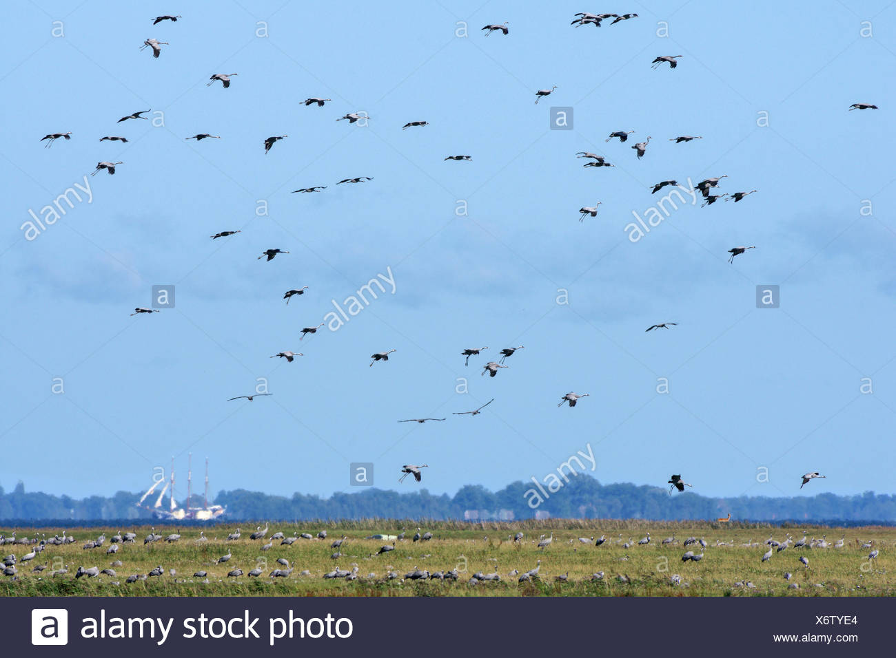 Common Cranes flying over bodden, Mecklenburg-Hither Pomerania, Mecklenburg-Western Pomerania, Germany, (Grus grus) Stock Photo