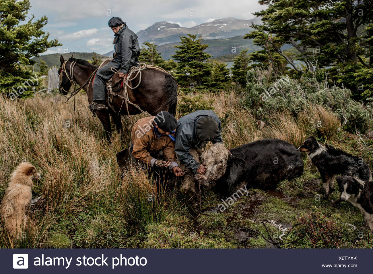 Bagualeros, cowboys who capture feral livestock, untie from a tree, a cow feral cow that was caught and tie it to a horse to be herded down. - Stock Image