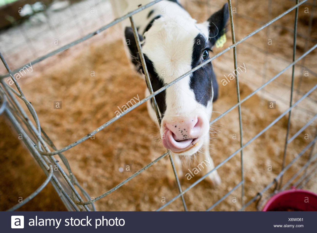 Calf cow licking nose. - Stock Image