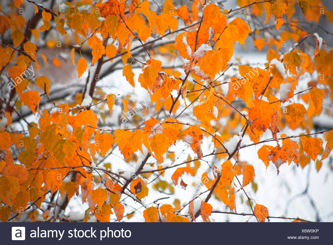 Birch leaves after winter burglary - Stock Image