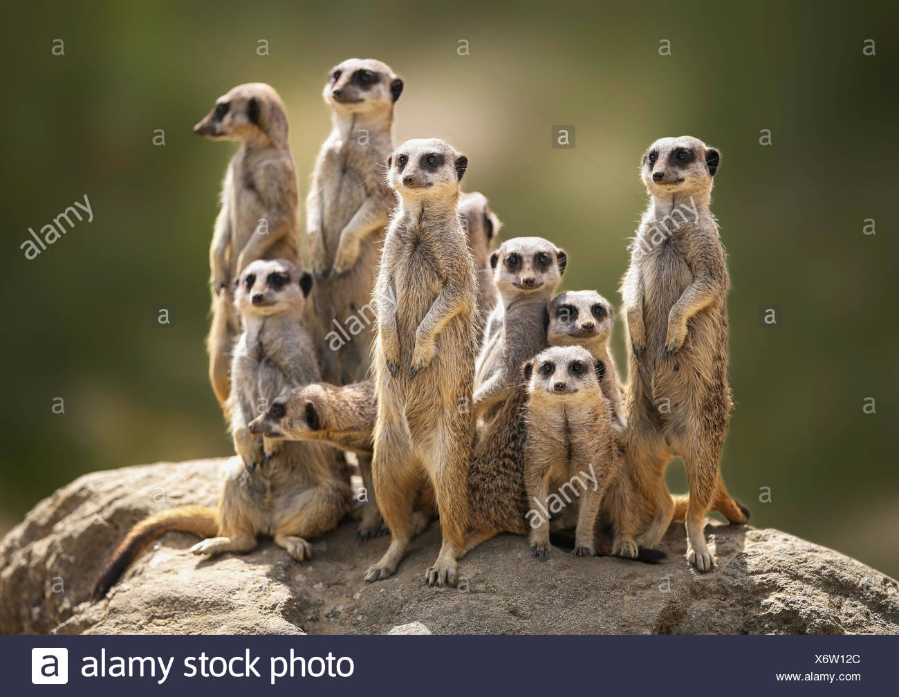 Meerkat family on lookout - Stock Image