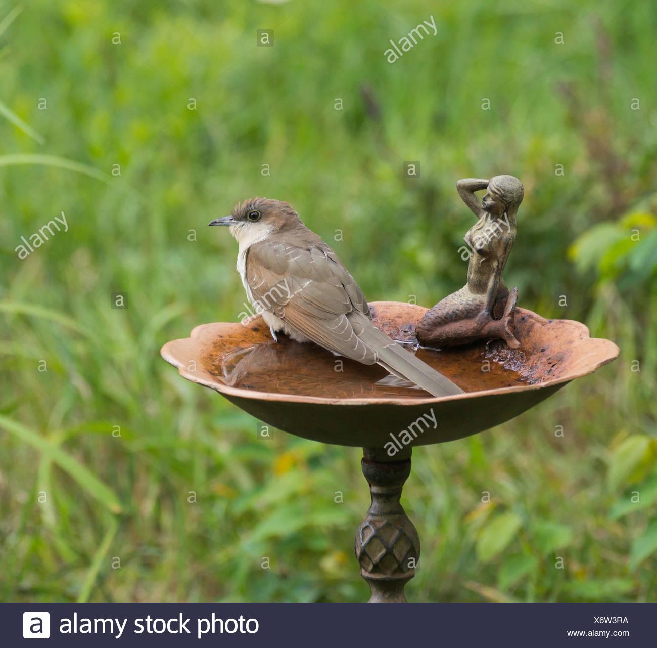 Black Billed Cuckoo Coccyzus Erythropthalmus North Bay Region Eastern Ontario
