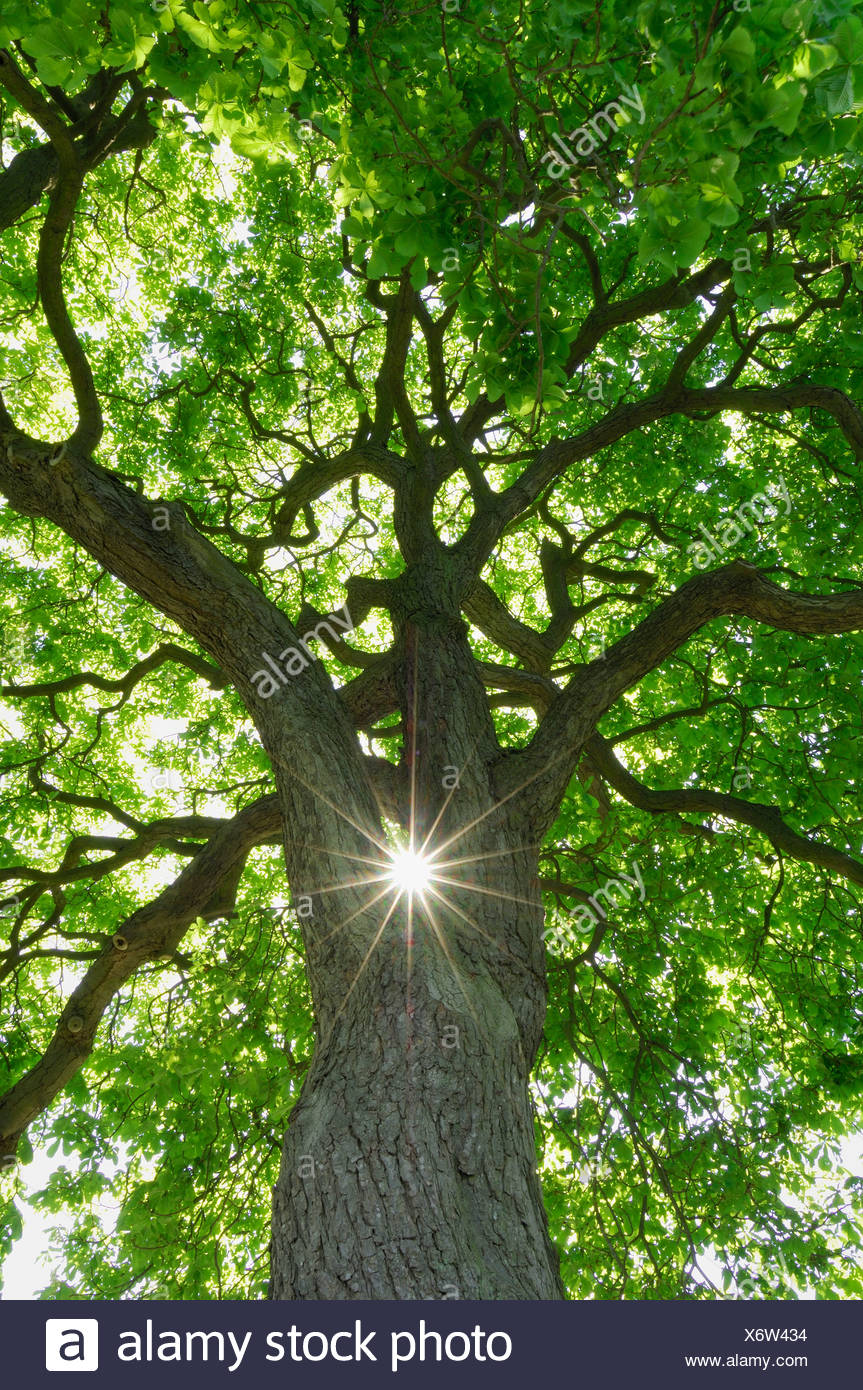 Germany, Mecklenburg-Western Pomerania, Chestnut Tree (Aesculus hippocastanum) with sun and sunbeams, low angle view Stock Photo