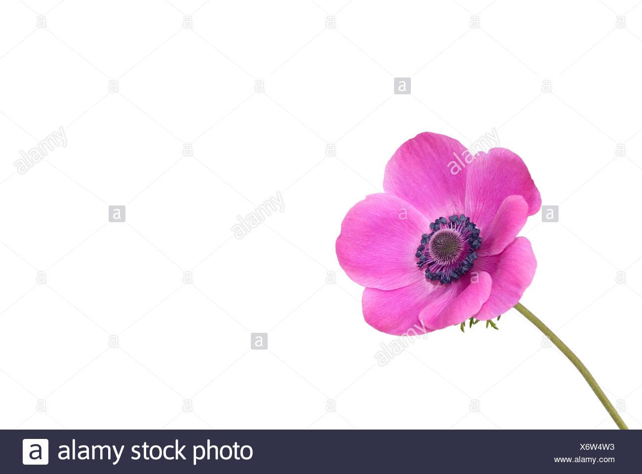 Anemone on white background - Stock Image
