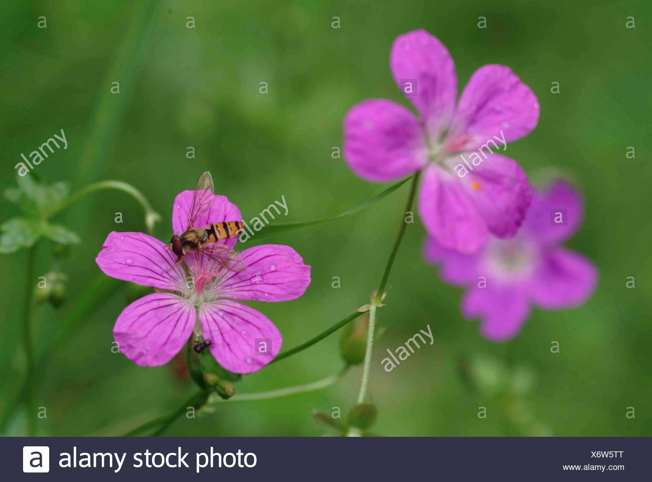 marsh cranesbill (Geranium palustre), flowers with hoverfly, Germany Stock Photo