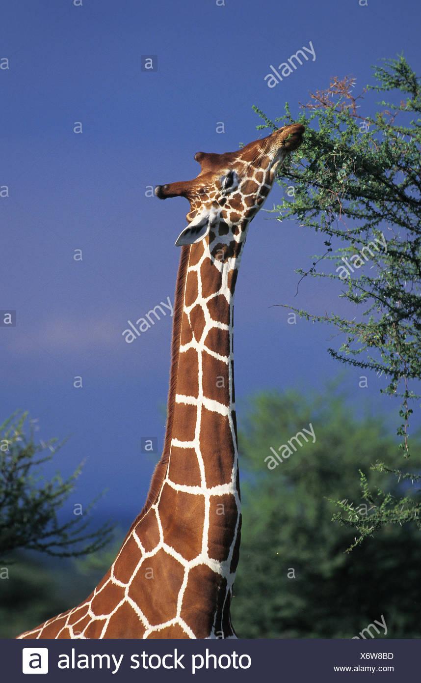 Reticulated Giraffe, giraffa camelopardalis reticulata, Adult eating Acacia's Leaves, Samburu Park in Kenya - Stock Image